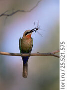 Купить «White fronted bee-eater {Merops bullockoides} perching on branch with insect in beak, Okavango Delta, Botswana, Africa.», фото № 25521575, снято 27 июня 2019 г. (c) Nature Picture Library / Фотобанк Лори