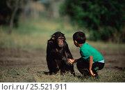 Купить «Child shakes hand with Chimpanzee orphan, Sophie (Pan troglodytes) Sweetwaters Chimp Sanctuary, Kenya», фото № 25521911, снято 20 января 2020 г. (c) Nature Picture Library / Фотобанк Лори