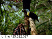 Купить «Channel billed toucan eating Bacabinha palm fruits, Amazon rainforest, Brazil.», фото № 25522027, снято 18 июня 2019 г. (c) Nature Picture Library / Фотобанк Лори