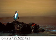 Купить «Galapagos penguin on rock(Spheniscus mendiculus) and Sally Lightfoot crab, Galapagos», фото № 25522423, снято 20 февраля 2019 г. (c) Nature Picture Library / Фотобанк Лори