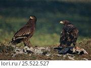 Купить «Greater spotted eagles (Aquila clanga) with prey, juveniles. Keoladeo NP, Ghana, India», фото № 25522527, снято 18 апреля 2019 г. (c) Nature Picture Library / Фотобанк Лори