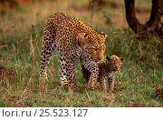 Купить «Leopard mother walking with young cub (Panthera pardus) Masai Mara, Kenya, Africa», фото № 25523127, снято 27 марта 2019 г. (c) Nature Picture Library / Фотобанк Лори