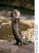 Купить «Canadian otter standing on hind legs. Montana, USA. Captive animal», фото № 25523227, снято 4 июня 2020 г. (c) Nature Picture Library / Фотобанк Лори