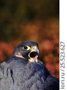 Купить «Peregrine falcon (Falco peregrinus) calling, Derbyshire UK», фото № 25523627, снято 19 августа 2018 г. (c) Nature Picture Library / Фотобанк Лори