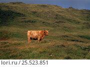 Highland cow (Bos taurus). Scotland, UK, Europe. Стоковое фото, фотограф John Cancalosi / Nature Picture Library / Фотобанк Лори