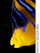 Regal angelfish head / face close-up (Pygoplites diacanthus) Red Sea. Стоковое фото, фотограф Jeff Rotman / Nature Picture Library / Фотобанк Лори