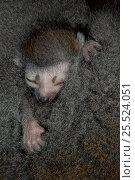 Купить «Crowned lemur baby asleep against mother, N. Madagascar, Ankarana Special Reserve», фото № 25524051, снято 25 июня 2018 г. (c) Nature Picture Library / Фотобанк Лори