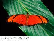 Купить «Flambeau butterfly (Dryas iulia). Amazon, Ecuador, South America», фото № 25524527, снято 23 мая 2019 г. (c) Nature Picture Library / Фотобанк Лори