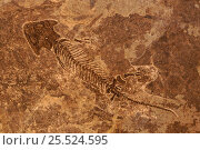 Купить «Fossil amphibian. Permian period - Branchiosaurier. Germany», фото № 25524595, снято 15 декабря 2017 г. (c) Nature Picture Library / Фотобанк Лори