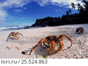 Купить «Coconut crabs on beach, Christmas Island», фото № 25524863, снято 8 мая 2020 г. (c) Nature Picture Library / Фотобанк Лори