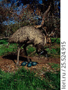 Купить «Emu (Dromaius novaehollandiae) male at nest with eggs - on free range farm in Australia Perth. Natural habitat though animal is captive.», фото № 25524915, снято 26 мая 2018 г. (c) Nature Picture Library / Фотобанк Лори