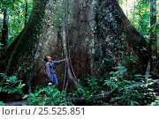 Купить «Buttress roots (size compared with man). Manu NP, Peru, South America», фото № 25525851, снято 23 марта 2019 г. (c) Nature Picture Library / Фотобанк Лори