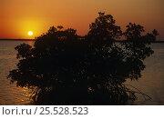 Купить «Red mangrove tree at sunrise.(Rhizophora mangle) Florida Everglades NP, USA», фото № 25528523, снято 25 мая 2020 г. (c) Nature Picture Library / Фотобанк Лори