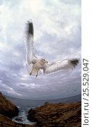 Купить «Seagull in flight», фото № 25529047, снято 19 августа 2018 г. (c) Nature Picture Library / Фотобанк Лори