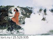 Купить «Volcanic eruption, lava flowing into the sea, Feburary 1995. Cabo Hammond, Fenandina Island, Galapagos», фото № 25529935, снято 25 мая 2018 г. (c) Nature Picture Library / Фотобанк Лори