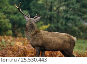 Купить «Red Deer stag with broken antler (Cervus elaphus)loss caused by fighting, Ranoch moor, Scotland, UK», фото № 25530443, снято 21 марта 2018 г. (c) Nature Picture Library / Фотобанк Лори