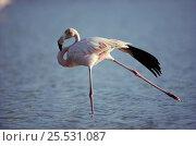 Купить «Greater Flamingo stretching. Galapagos Is (Phoenicopterus ruber)», фото № 25531087, снято 26 июня 2019 г. (c) Nature Picture Library / Фотобанк Лори