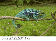 Купить «Panther chameleon, stripy blue sub species (Chamaeleo pardalis) Nosy Tanikely Island, North West Madagascar», фото № 25531175, снято 22 июня 2018 г. (c) Nature Picture Library / Фотобанк Лори