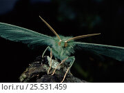 Купить «Large Emerald moth showing antennae», фото № 25531459, снято 22 июля 2018 г. (c) Nature Picture Library / Фотобанк Лори