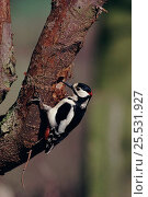 Купить «Great Spotted Woodpecker male looking for food, England», фото № 25531927, снято 14 декабря 2017 г. (c) Nature Picture Library / Фотобанк Лори