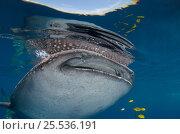 Купить «Whale Shark (Rhincodon typus) & Golden Trevally (Gnathanodon speciosus) Cenderawasih Bay, West Papua, Indonesia.», фото № 25536191, снято 26 марта 2019 г. (c) Nature Picture Library / Фотобанк Лори
