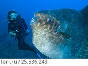 Купить «Diver encounters a large sunfish (Mola mola), the world's heaviest bony fish. Tulamben, Bali, Indonesia. Java Sea Model released», фото № 25536243, снято 14 декабря 2017 г. (c) Nature Picture Library / Фотобанк Лори
