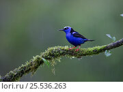 Red-legged honeycreeper (Cyanerpes cyaneus) male northern Costa Rica. Стоковое фото, фотограф Suzi Eszterhas / Nature Picture Library / Фотобанк Лори