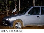 Купить «Kagu (Rhynochetos jubatus) sitting on car bonnet, New-Caledonia, endangered and endemic», фото № 25536551, снято 20 июля 2019 г. (c) Nature Picture Library / Фотобанк Лори