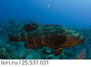 Купить «Goliath grouper or Jewfish (Epinephelus itajara) Cuba, Caribbean», фото № 25537031, снято 25 марта 2019 г. (c) Nature Picture Library / Фотобанк Лори