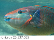 Купить «Spotlight Parrotfish (Sparisoma viride) profile portrait, Bonaire, Netherlands Antilles, Caribbean», фото № 25537035, снято 10 июля 2020 г. (c) Nature Picture Library / Фотобанк Лори