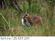 Купить «Caracal (Caracal caracal) six month kitten carrying African hare that its mother has killed for it, Masai Mara National Reserve, Kenya, August», фото № 25537231, снято 3 декабря 2019 г. (c) Nature Picture Library / Фотобанк Лори