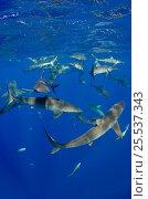 Купить «Shoal of Silky sharks (Carcharhinus falciformis) Jardines de la Reina National Park, Cuba», фото № 25537343, снято 25 марта 2019 г. (c) Nature Picture Library / Фотобанк Лори