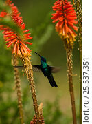 Купить «Sparkling violetear hummingbird (Colibri coruscans) at base of Chimborazo Volcano (Highest mountain in Ecuador), Andes, Ecuador, South America», фото № 25537351, снято 25 марта 2019 г. (c) Nature Picture Library / Фотобанк Лори
