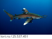 Купить «Oceanic white-tip shark (Carcharhinus longimanus) accompanied by Pilot Fish (Naucrates ductor) Red Sea», фото № 25537451, снято 17 марта 2018 г. (c) Nature Picture Library / Фотобанк Лори
