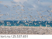 Купить «Greater crested / Swift tern (Thalasseus / Sterna bergii) large breeding colony on shoreline, rising spring tide floods across the cay, threatening the...», фото № 25537651, снято 7 апреля 2020 г. (c) Nature Picture Library / Фотобанк Лори