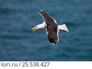 Купить «Great Black-backed Gull (Larus marinus) calling in flight, Puffin Island, North Wales, UK, June 2010», фото № 25538427, снято 19 августа 2018 г. (c) Nature Picture Library / Фотобанк Лори