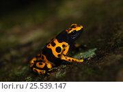 Купить «Yellow-banded poison dart frog (Dendrobates leucomelas) in rainforest, Surama, Guyana», фото № 25539147, снято 20 мая 2019 г. (c) Nature Picture Library / Фотобанк Лори