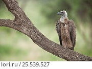 African White-backed Vulture (Gyps africanus) perched on branch, Serengeti National Park, Tanzania, Africa February. Стоковое фото, фотограф Guy Edwardes / Nature Picture Library / Фотобанк Лори