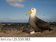 Купить «Waved albatross (Phoebastria irrorata) incubating egg on beach, Punto Cevallos, Española (Hood) Island, Galapagos islands, Equador, South America», фото № 25539983, снято 23 марта 2019 г. (c) Nature Picture Library / Фотобанк Лори