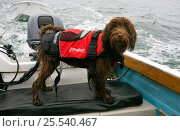 Wet dog wearing a lifejacket onboard a boat. Maisie (3/4 Tibetan Terrier, 1/4 Cocker Spaniel)  Isles of Scilly, UK. Стоковое фото, фотограф Merryn Thomas / Nature Picture Library / Фотобанк Лори