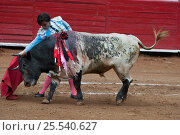 Купить «Matador challenges charging bull with red cloak in final stages of bullfight, Plaza de Toros, Mexico City, Mexico», фото № 25540627, снято 15 августа 2018 г. (c) Nature Picture Library / Фотобанк Лори