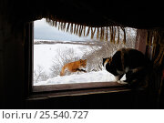 Red fox (Vulpes vulpes) approaching the photographers cabin, where his cat sits in the window. Kronotsky Zapovednik, Kamchatka, Russia. Редакционное фото, фотограф Igor Shpilenok / Nature Picture Library / Фотобанк Лори