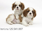 Купить «Two Blenheim Cavalier King Charles Spaniel puppies.», фото № 25541007, снято 5 декабря 2019 г. (c) Nature Picture Library / Фотобанк Лори