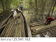 Купить «Loading harvested mangrove poles into a boat,  from the 15 year thinning phase of managed mangrove forestry at the Matang mangroves. Logging in the Matang...», фото № 25541163, снято 15 августа 2018 г. (c) Nature Picture Library / Фотобанк Лори