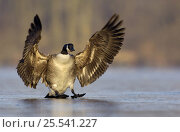 Купить «Canada goose (Branta canadensis) using its wings for balance and braking as it skids along after landing on a frozen lake, Nottinghamshire, UK», фото № 25541227, снято 20 августа 2018 г. (c) Nature Picture Library / Фотобанк Лори
