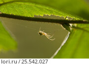 Купить «Orb weaver spider (Meta sp) on web, UK, Tetragnathidae», фото № 25542027, снято 25 января 2020 г. (c) Nature Picture Library / Фотобанк Лори