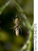 Купить «Orb weaver spider (Neoscona adianta) with prey on web, UK», фото № 25542075, снято 10 декабря 2018 г. (c) Nature Picture Library / Фотобанк Лори