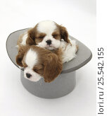 Купить «Blenheim Cavalier King Charles Spaniel puppies sleeping in a top hat.», фото № 25542155, снято 5 декабря 2019 г. (c) Nature Picture Library / Фотобанк Лори
