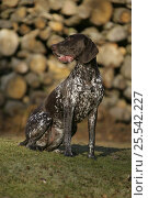 Купить «German Pointer bitch, smooth haired, sitting outside.», фото № 25542227, снято 17 октября 2019 г. (c) Nature Picture Library / Фотобанк Лори