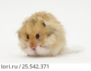 Купить «Long-haired Syrian Hamster.», фото № 25542371, снято 1 февраля 2020 г. (c) Nature Picture Library / Фотобанк Лори